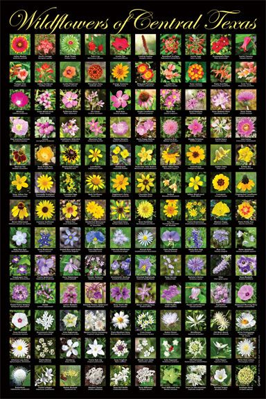 Go Wild Poster Wildflowers Of Central Texas Wildflower