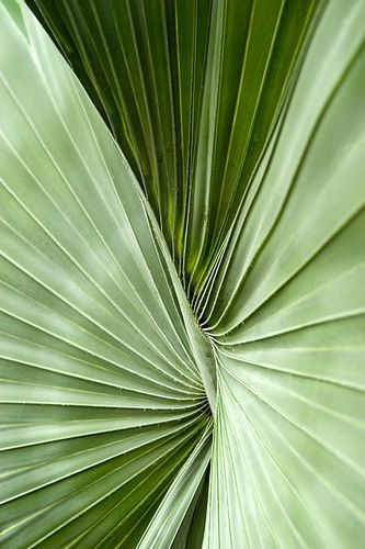 bismarck palm | Flickr - Photo Sharing!