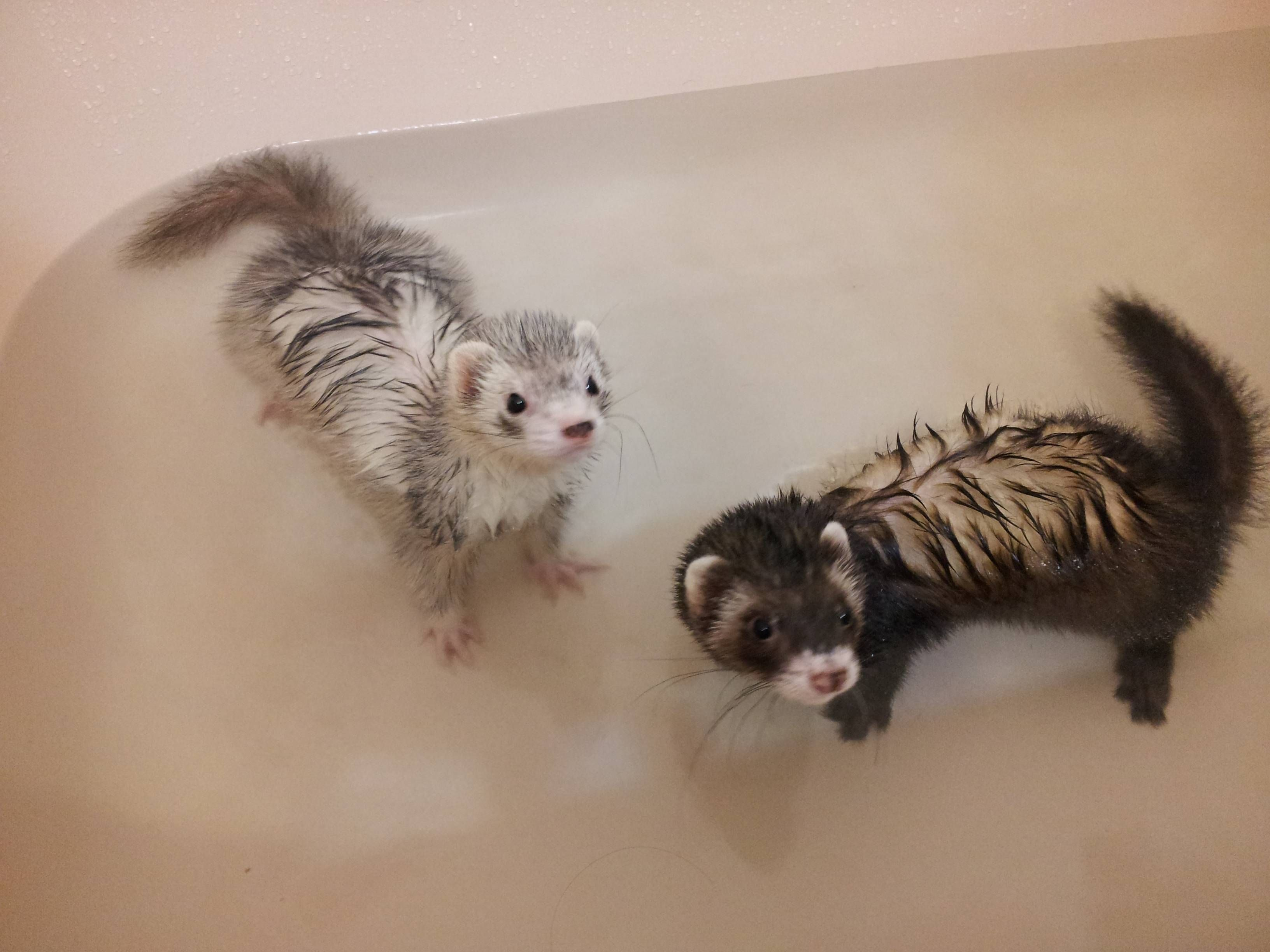 bath time for ferrets