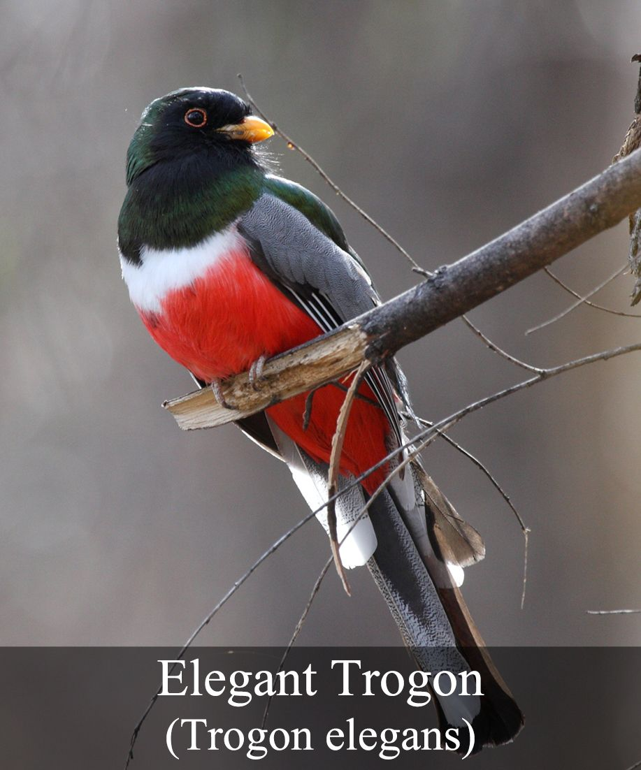 This stunning bird is related to the Quetzal, the bird of