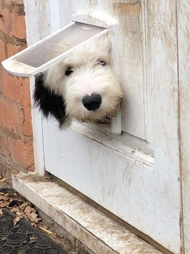 Pin by christine on peekaboohide seek sheep dog