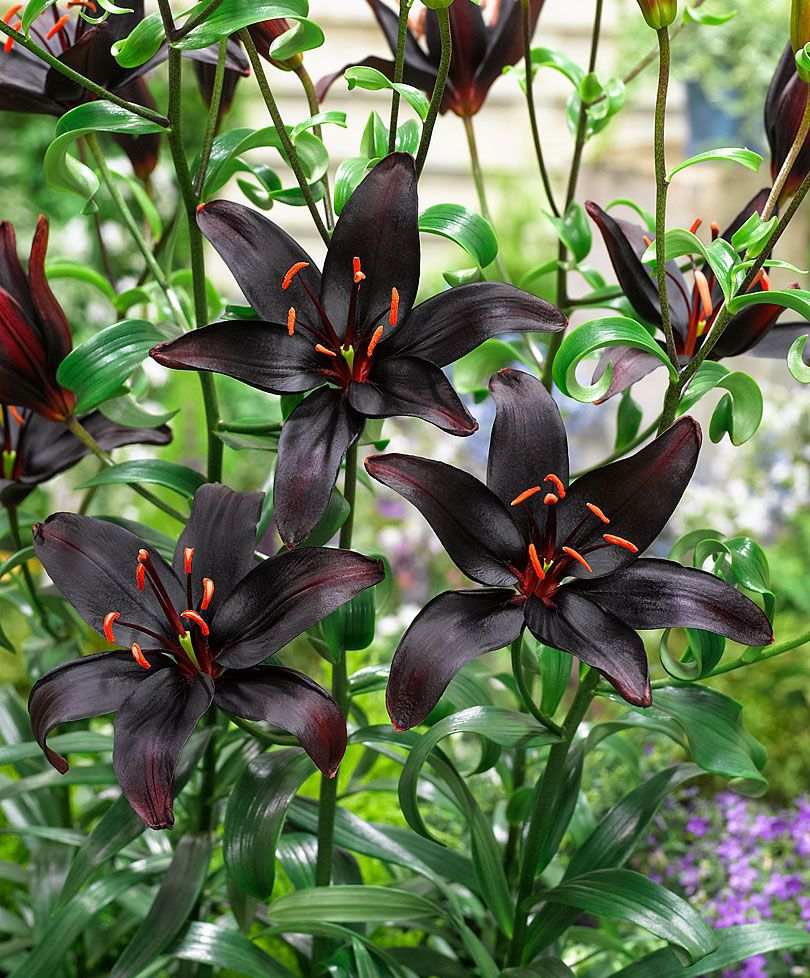 Asiatic lily queen of the night flower bulbs from bakker 4 bulbs true black lily flower bulbs not lily seeds seeds izmirmasajfo