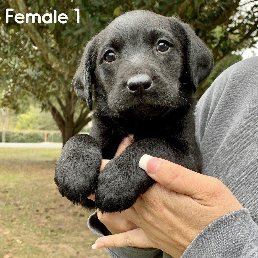 Akc Black Labrador Puppies Chocolate Labrador Puppies Orlando