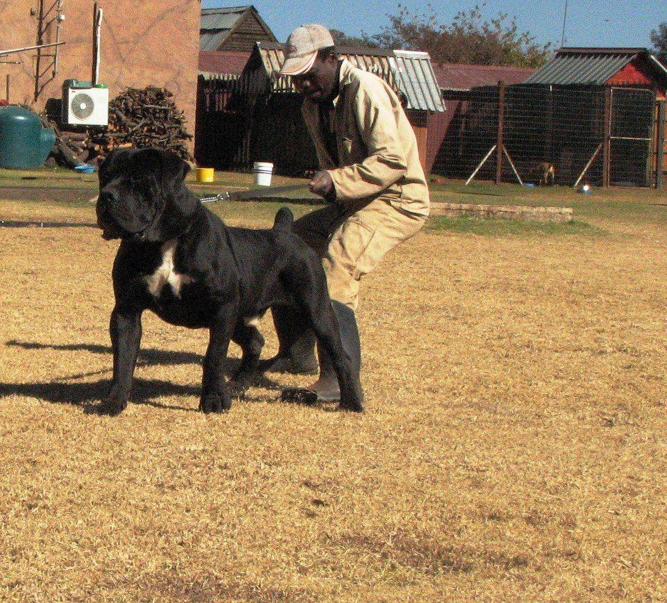 Most Inspiring Boerboel Black Adorable Dog - 3fd98db28b78d9f9ec69f79f86abde91  Pictures_409958  .jpg