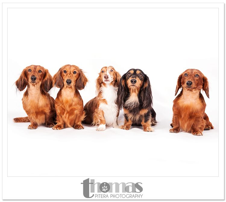 Best in Show: Dachshunds Dog Show Photography » Hot Dog! Pet Photography