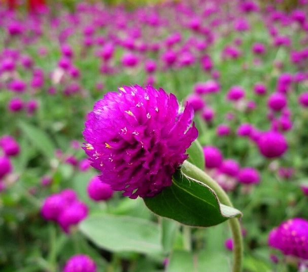 Daftar Nama Bunga Gambar Bunga Cantik Indah Unik Dan Langka Lengkap Dengan Penjelasannya