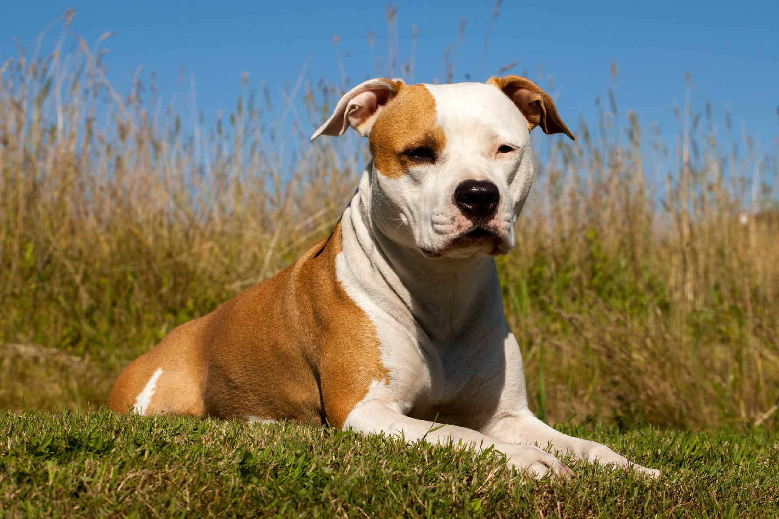 11 Facts Everyone Should Know About American Staffordshire Terriers