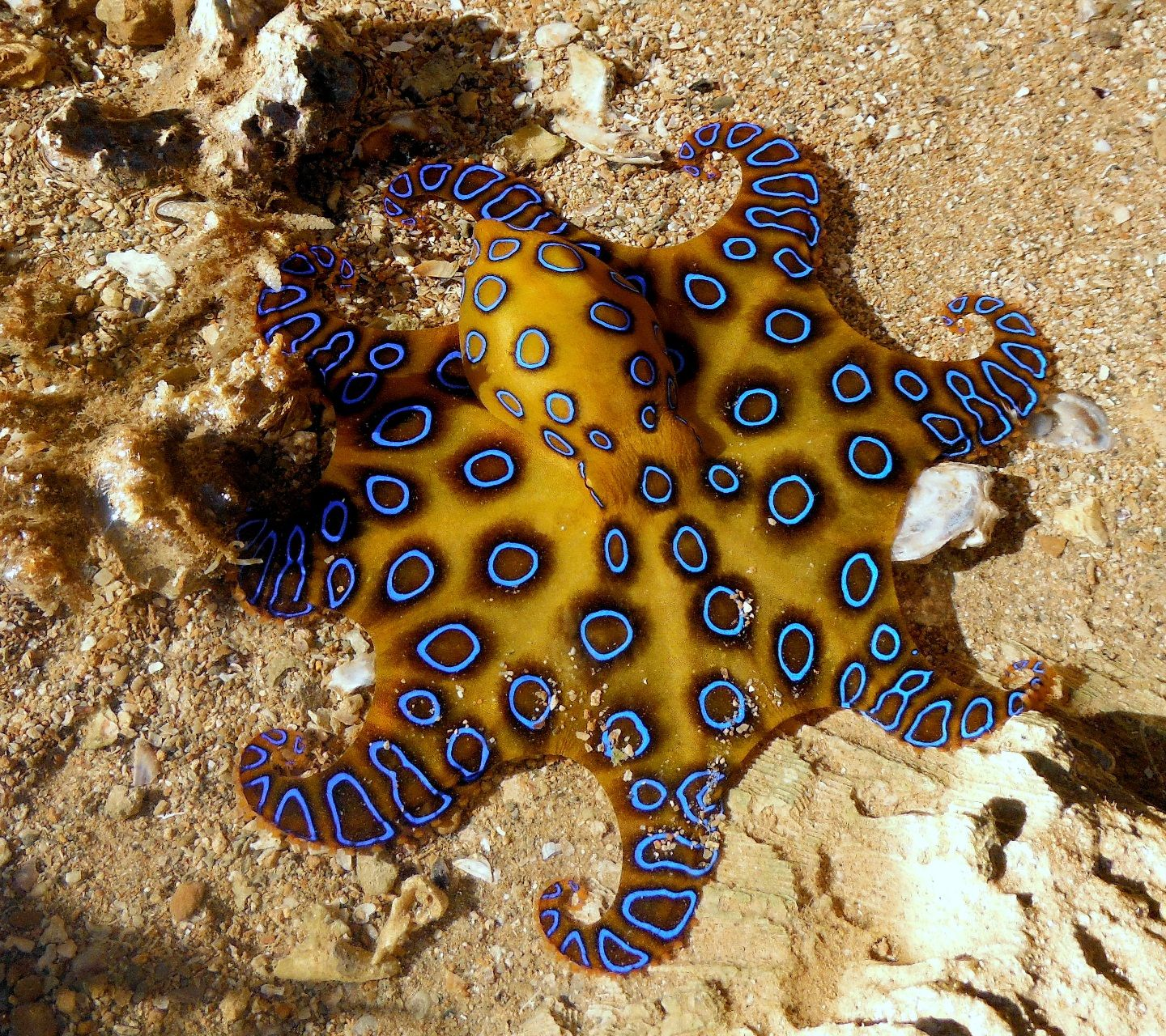 The blue-ringed octopus, despite its small size, carries enough ...