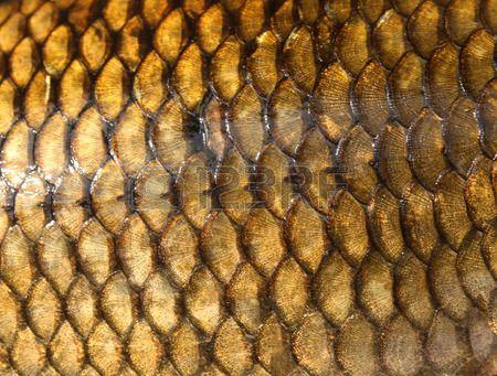 fischschuppen 62200548 frische karpfen texturjpg 450a341 funktion