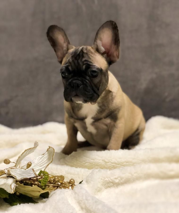 Fawn Sable French Bulldog Puppy Boy Bulldog Puppies French