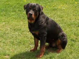 Image Result For St Bernard Rottweiler Mix Rottweiler