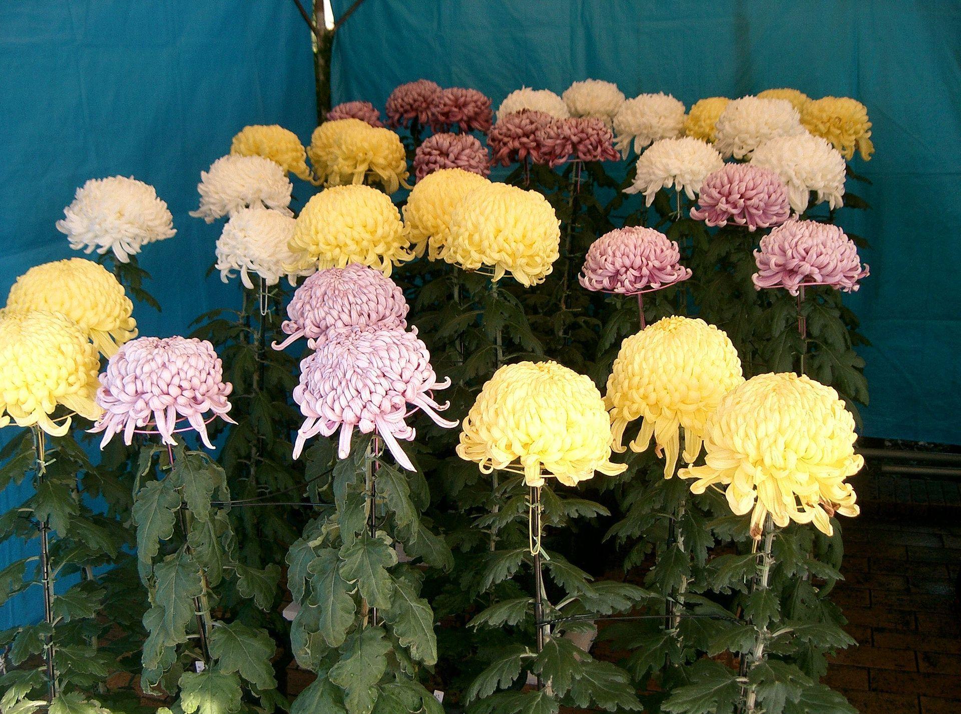 Chrysanthemum Morifolium Chrysanthemum Morifolium Chrysanthemum Chrysanthemum Growing