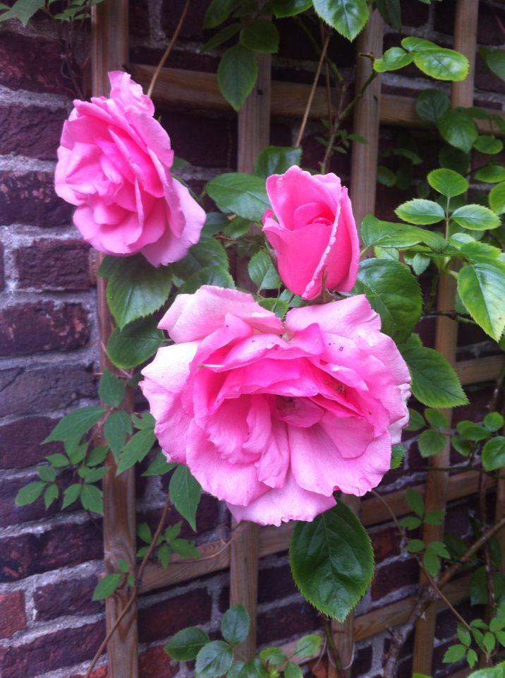 Rose Bantry Bay, summer flowers in my garden.