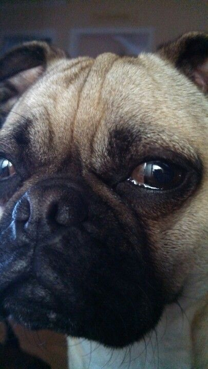 Griff In Your Face Make Me Smile Pugs Face