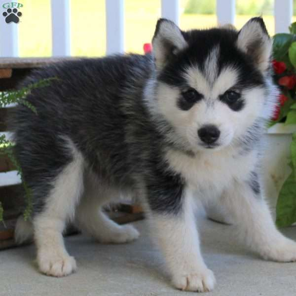 Wendy Pomsky Puppy For Sale In Pennsylvania Pomsky Puppies