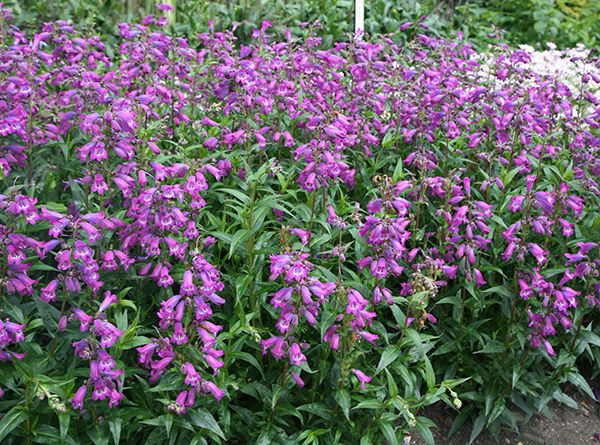 Penstemon sour grapes sour grapes evergreen and perennials flowers mightylinksfo Choice Image