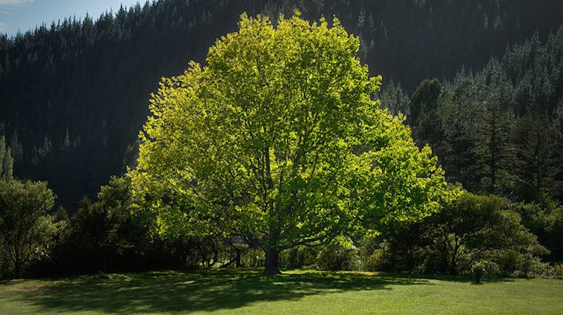 When picking a tree to turn your yard into a shady paradise, you need one that will grow quickly enough to enjoy after a few years, and that's also sturdy enough not to topple onto your house. Here are the best types to provide both.