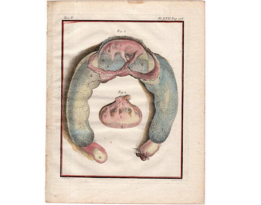 1775 ANTIQUE PIG FETUS engraving original antique animal anatomy ...