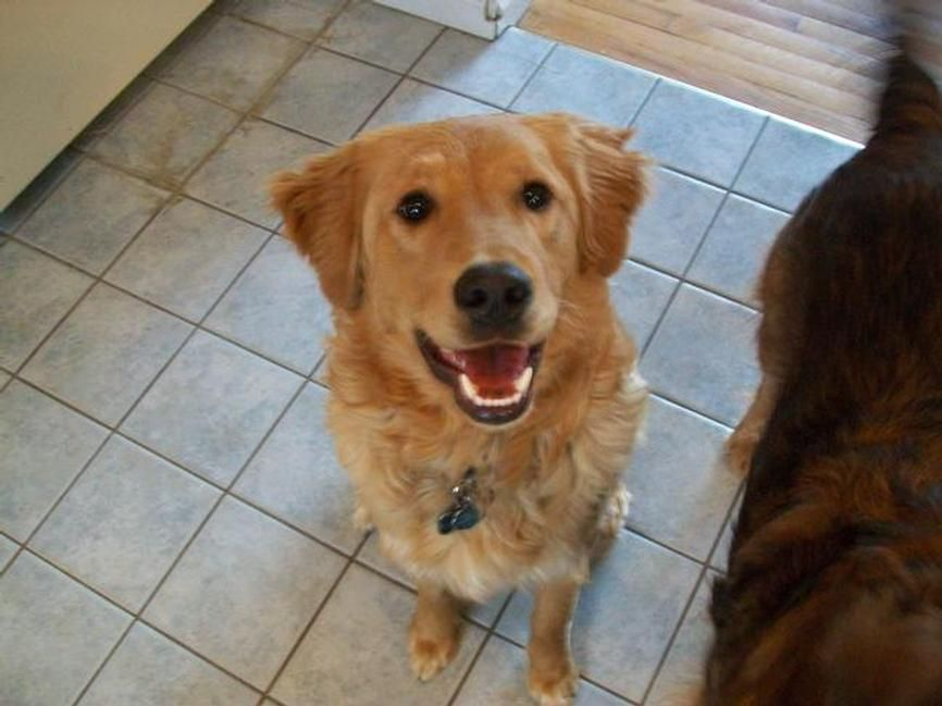 Lost Dog Golden Retriever In Valatie Ny Pet Name Brody Id
