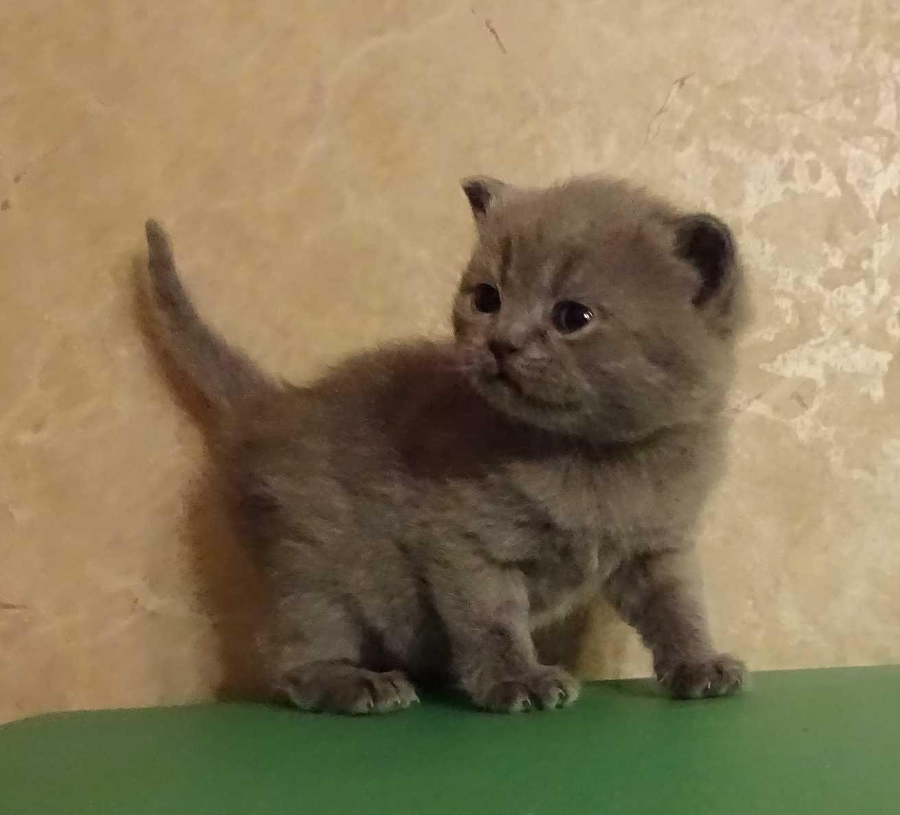 British Shorthair Blue Baby Kitten