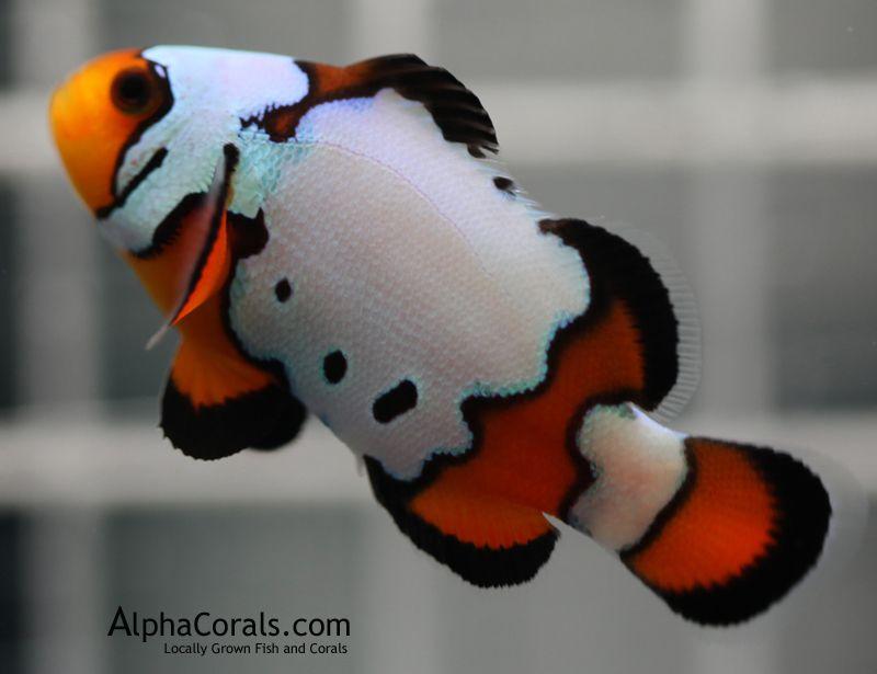 Black Ice Clown Fish Saltwater Fish Tanks Saltwater Aquarium Fish Clown Fish