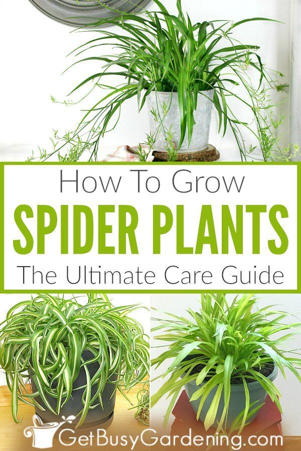 How To Grow Spider Plants The Ultimate Care Guide is part of Plant care houseplant, Indoor plant care, Spider plants, Spider plant care, Plants, Plant care - Growing spider plants (Chlorophytum comosum) is easy  Learn all there is to know about their care fertilizing, soil, sunlight, watering, pruning, and more!