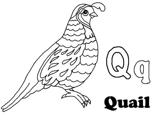 quail alphabet q is for coloring page 236633 Quail Coloring