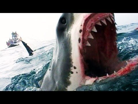 One of the Biggest Great Whites Ever Filmed | Jaws Strikes