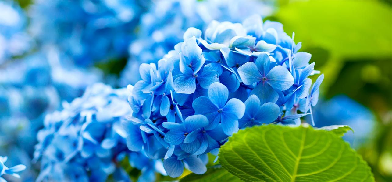 Imagens azul flores hd wallpapers hidrangeas pinterest blue blue flowers stand for loyalty trust faith wisdom and confidence and it hences one of the sweetest gestures that one can make mightylinksfo