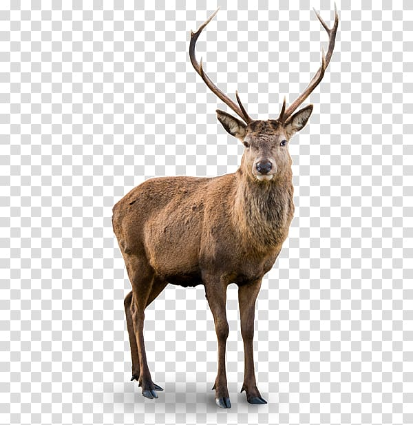 White Tailed Deer Moose Red Deer Reindeer Png Whitetail Deer Deer Red Deer