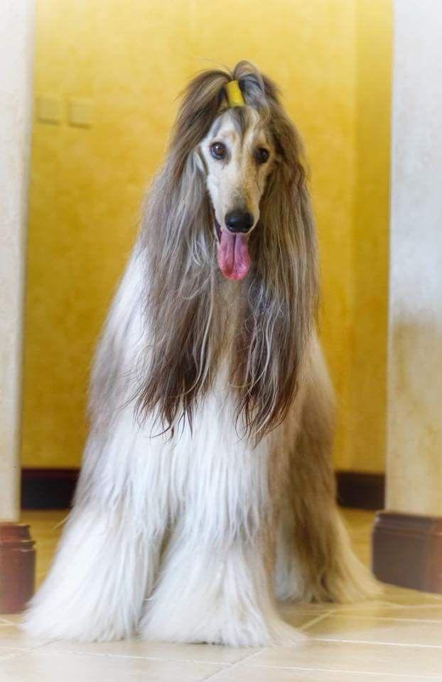Grande Hair Style Afghan Hound Puppy Afghan Hound Dog Grooming Styles