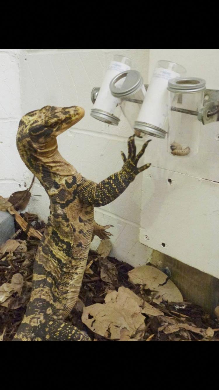 Reptile Animal Enrichment Lizard Beardeddragontanks Dog Enrichment Reptiles Pet Reptile Zoo