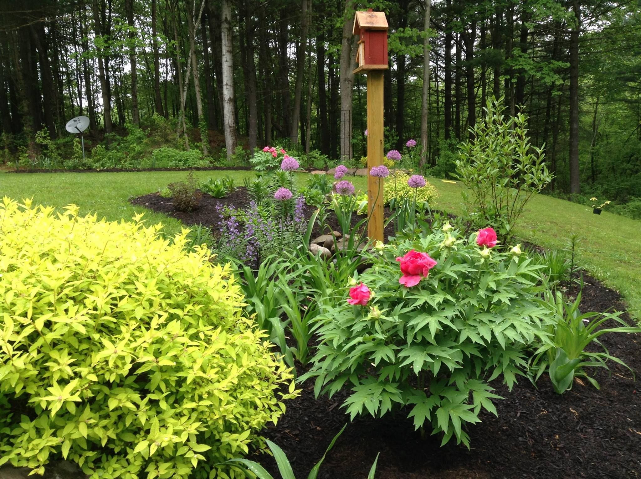 Mixed spring perennial shrub bed tree peony in mixed for Shrubs for garden borders