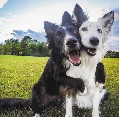 About the Border Collie Some people say that the […] The ...