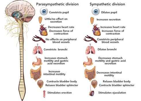 Parasympathetic and sympathetic effects   Nervous system ...
