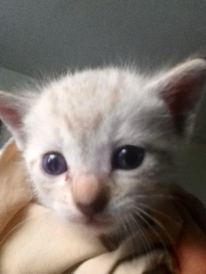 Gatito blanco de ojos azules
