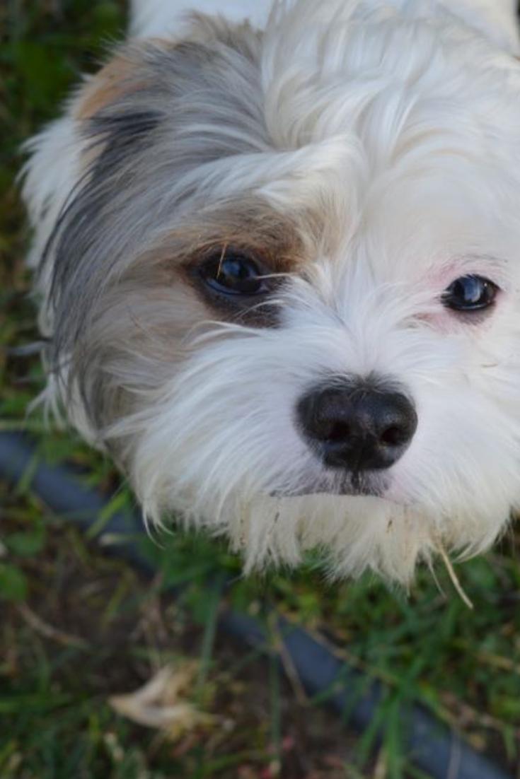 A Picture Of My Dog Monet A Shih Tzu And Maltese Mix Standing In Our Backyard Shihtzu In 2020 Shih Tzu Maltese Bichon Frise