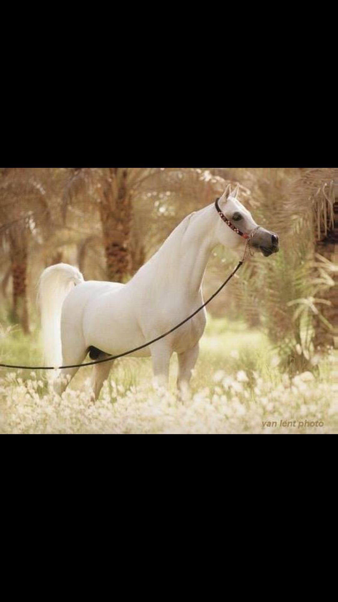 Pin By Celina Sparsbrod On My Entire World Revolves Around Them Beautiful Arabian Horses Beautiful Horses Arabian Horse