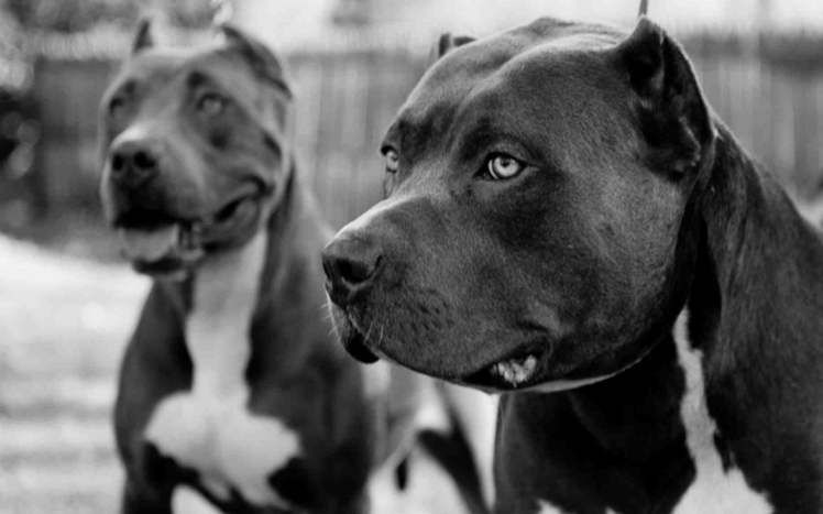 Pin By Lisa S Garage On Dogs Pitbulls Cane Corso Dogs