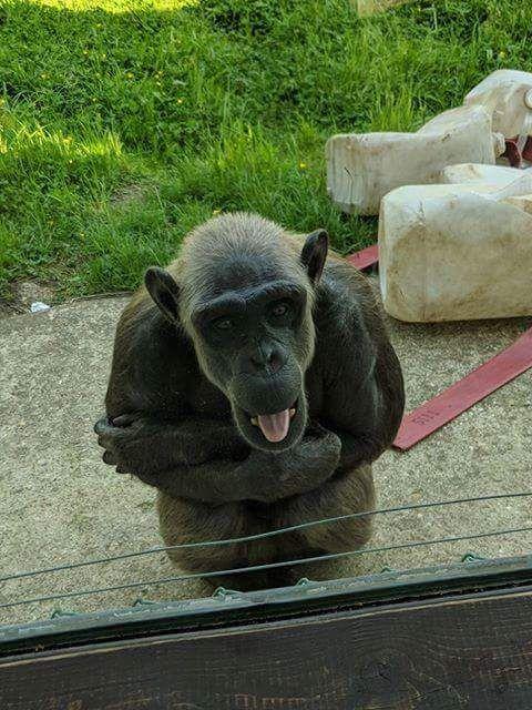 Pin by Lee Binkowski on Chimps/Bonobos/Gorillas   Monkey ...
