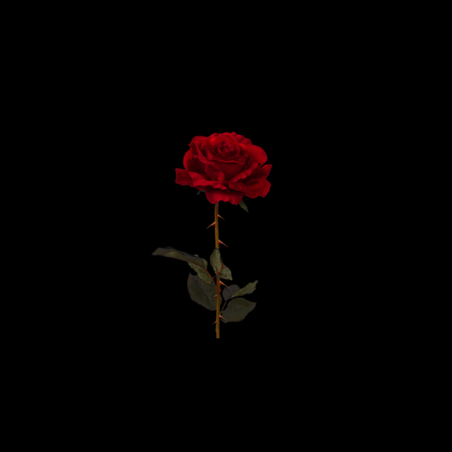 Rose black background