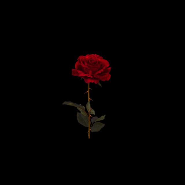 Rose Black Background Dark Wallpaper Rose Wallpaper Flowers Black Background