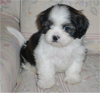 9 Week Old Cava Tzu Puppy Cavalier King Charles Spaniel Shih