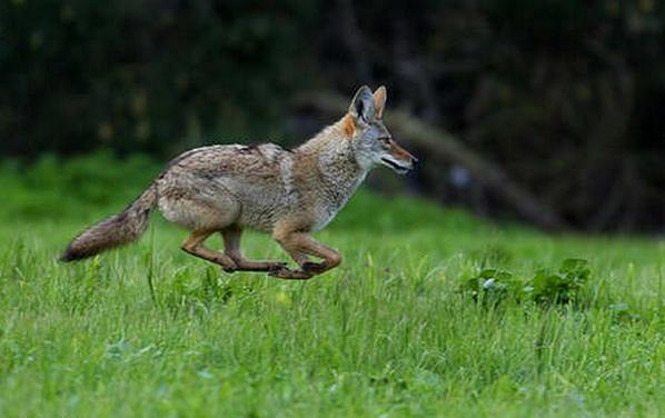 Gray Fox sprints - North America.