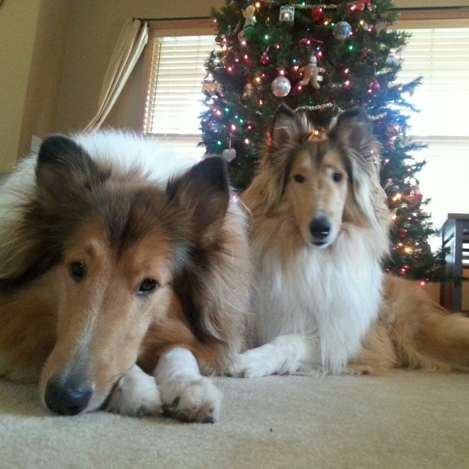 Two Gorgeous Collies With Images Rough Collie Collie Dog Dog Expressions