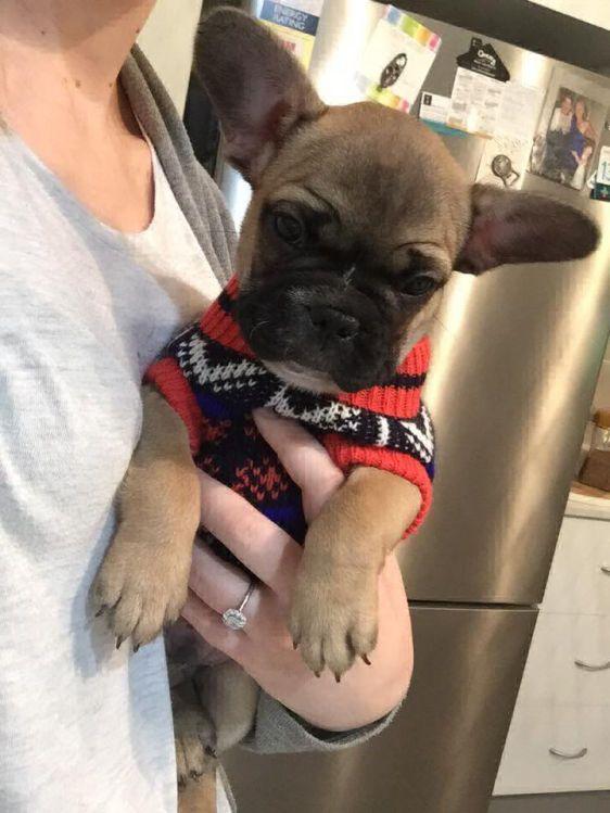 English Bulldog Puppies Cheap English Bulldog Puppy for
