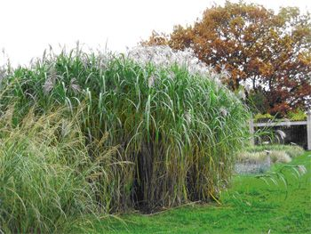 Giant miscanthus grows each year to over 10 39 tall in for Tall border grass