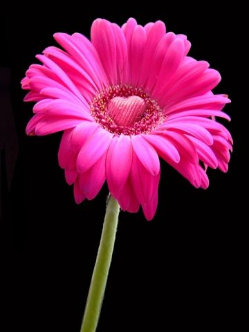 Pink Heart Daisy Wallpaper Daisy Flower Photos Pink Gerbera Gerbera Daisy