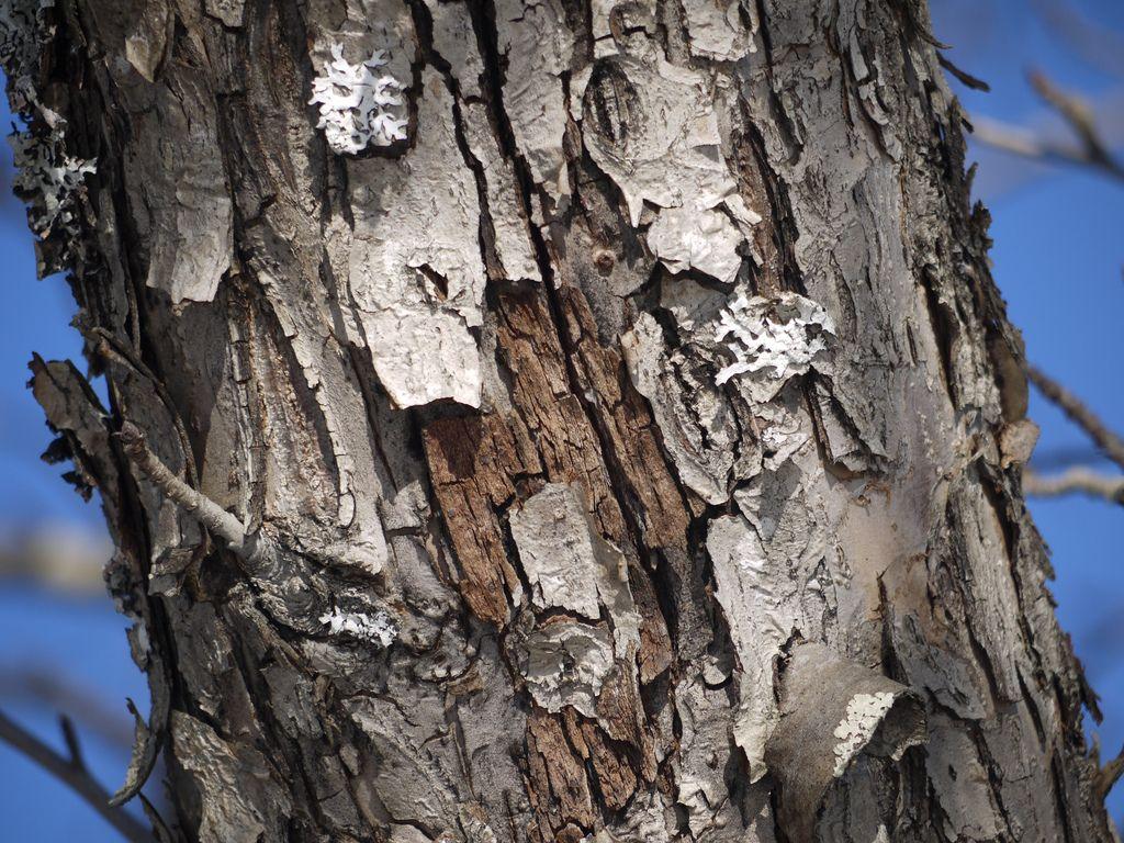 Maple Tree Bark Disease Diseases On Maple Trunk And Bark Maple Tree Bark Tree Bark Wallpaper Red Maple Tree
