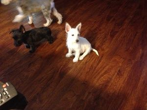Westie puppies is an adoptable West Highland White Terrier Westie Dog in Indianapolis, IN. We have 3 happy and rowdy puppies that will soon be looking for their families. We are taking applications on...